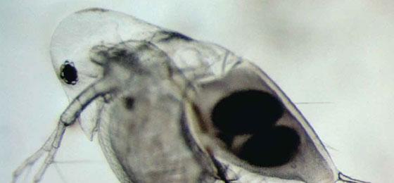 a water flea © Christian Rellstab, Eawag