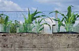 Les plantes que l'on cultive sont fortement influencées par la diversité de la vie souterraine. © Franz Bender