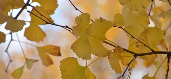 Blätter eines Ginkobaums